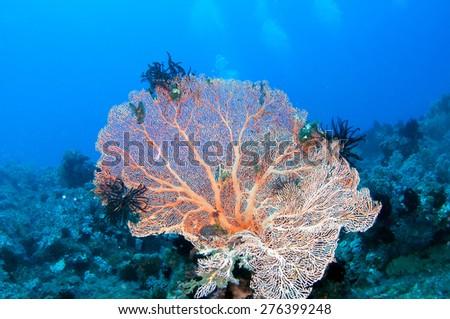 Beautiful fan coral - stock photo