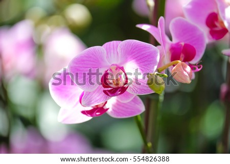 Beautiful Farland orchid in tropical garden., Streaked orchid flowers., Beautiful orchid flowers.