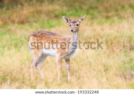 Beautiful fawn (Cervus elaphus) in national park 'Het Aardhuis' at the 'Hoge Veluwe' in the Netherlands - stock photo