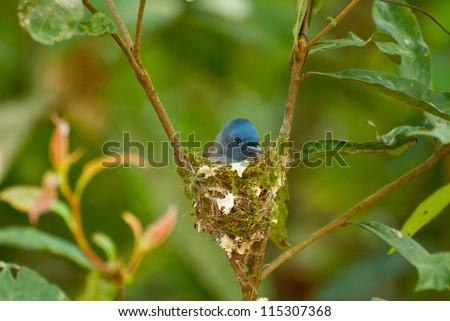 beautiful female black-nape monarch (Hypothymis azurea) hatching her eegs - stock photo