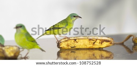 Beautiful female Blue Dacnis eating banana on a sunny day. With another female in the foreground. - stock photo