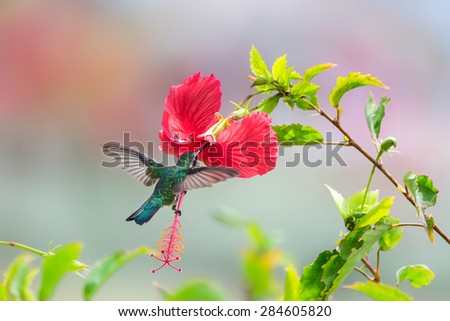 Beautiful female Blue-Tailed Emerald (Chlorostilbon mellisugus) hummingbird in flight feeding on red flowers - stock photo