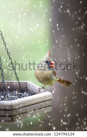 Beautiful female Cardinal bird eating seeds at wooden feeder while snow is falling - stock photo