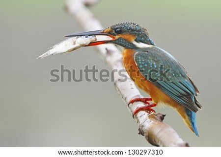 Beautiful female Common Kingfisher (Alcedo athis) with fish in her mouth
