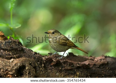 Beautiful Female of Small Niltava Bird, standing on the log showing its side profile in nature of Thailand - stock photo