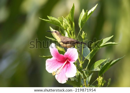 Beautiful female Olive-backed sunbird with Pink Cha ba flower - stock photo