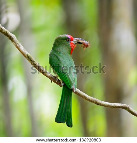 Beautiful female Red-bearded Bee-eater bird (Nyctyornis amictus), standing on a branch, back profile, in the feeding season