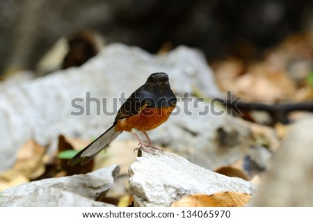 beautiful female white rumped sharma (Copsychus malabaricus) inThailand