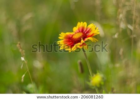 Beautiful feral Indian blanket flower in a summer wild field - stock photo