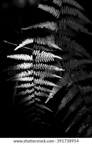 beautiful Fern Black background cross process black and white fine art  - stock photo