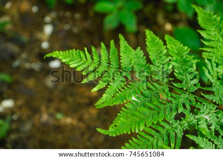 Beautiful fern leaves in the forest. Selective focus.
