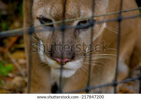beautiful ferocious cougar face close up in belize - stock photo