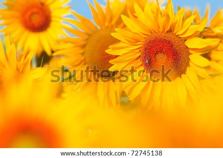 Beautiful field of sunflowers. summer landscape