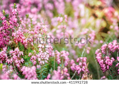 Beautiful field of vibrant pink heather (Calluna vulgaris) blossoming outdoors in spring sun. Botanical photo. Heather flowers. Small violet flowers. Spring blossom background. Retro style. - stock photo