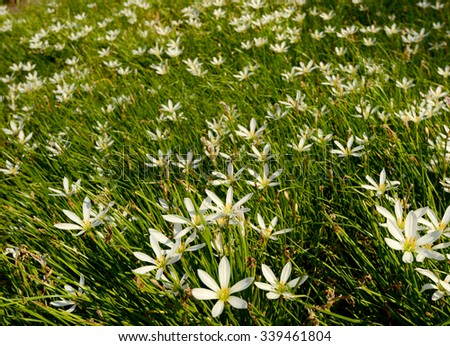 beautiful field of white flowers with green grass  in summer or spring - stock photo
