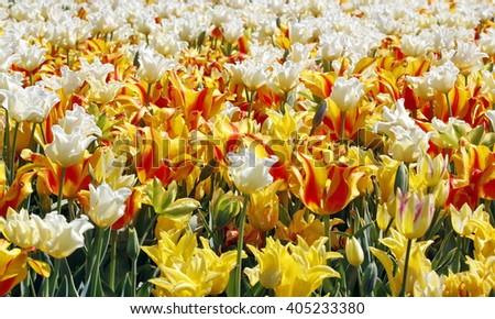 Beautiful field of yellow and white tulip flowers. - stock photo