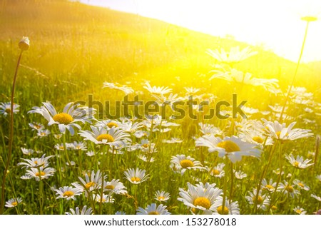 beautiful field with camomile at the sunset - stock photo