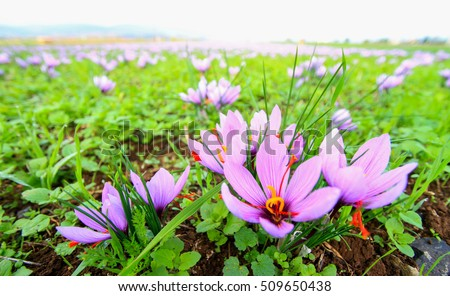 Beautiful fields of violet saffron flowers