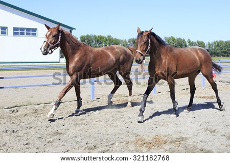 Beautiful filly Hanoverian and Trakehner breed in feedlot paddock horses  - stock photo