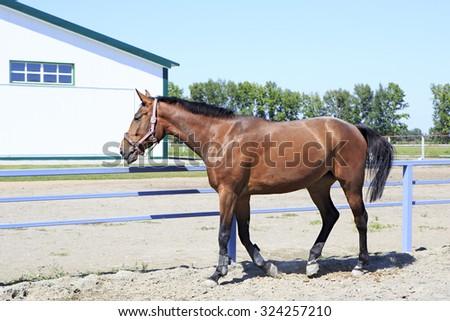 Beautiful filly Hanoverian breed in feedlot paddock horses  - stock photo