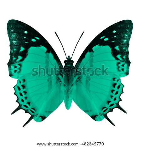 Beautiful fine green butterfly, Shan Nawab (Polyura nepenthes) in fancy color profile isolated on white background, exotic nature