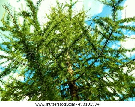 beautiful fir