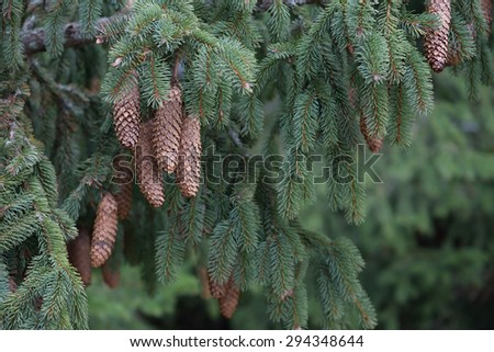 Beautiful fir branch with cones - stock photo