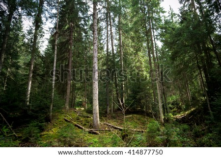 Beautiful fir forest high up in Carpathian mountains. A lot of green, a lot of broken trees, beautiful scenery, fast mountain river. - stock photo