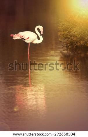 Beautiful Flamingo resting in sunrise - stock photo