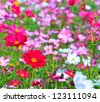 Beautiful Floral Cosmos flower - stock photo
