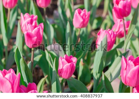 Beautiful floral pink tulips in flowers garden.
