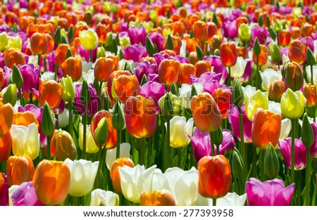 Beautiful flower bed of colorful tulips. - stock photo