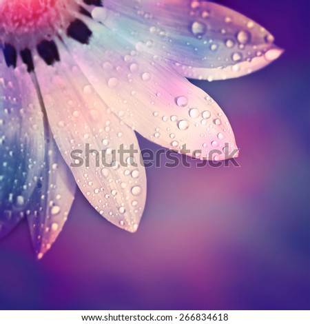 Beautiful flower border, gentle white Gerbera with dew drops on the petals over purple colorful background, beauty of spring nature - stock photo