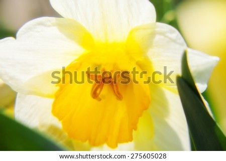 Beautiful flower daffodil growing in the garden. close-up