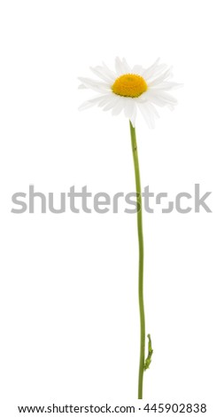 Beautiful flower field delicate daisy with white petals and a yellow center, on a thin green stalk on a white background isolation - stock photo