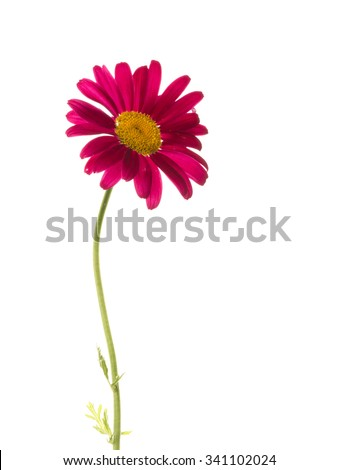 beautiful flower gentle purple daisies with yellow center isolated on a white background - stock photo