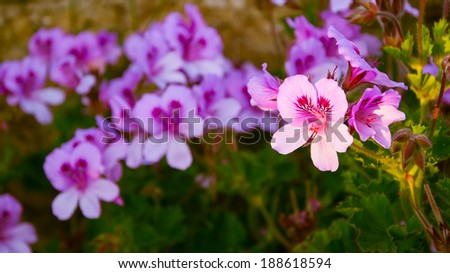 beautiful flower geranium in the sunlight - stock photo