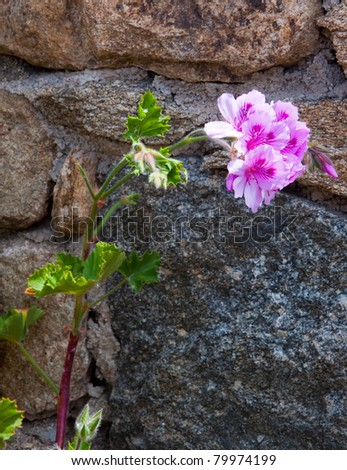 beautiful flower geranium in the sunlight against the stone wall - stock photo