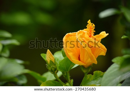 beautiful flower Hibiscus rosasinensis - stock photo