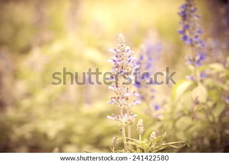 beautiful  flower in vintage color tone from Sage plant (lat. Salvia Officinalis) - stock photo