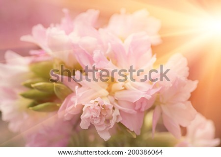Beautiful flower is in the rays of light, blured and colored, backlit by sun