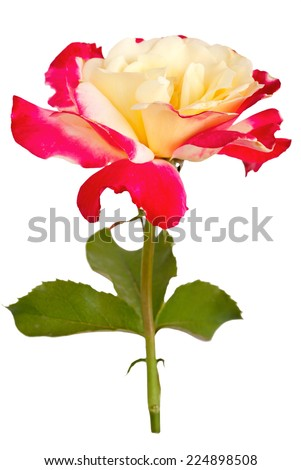 Beautiful flower isolated on white background  - stock photo