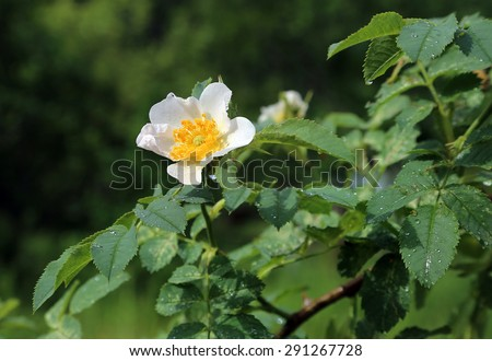 Beautiful flower of a wet white Dog Roses  - stock photo