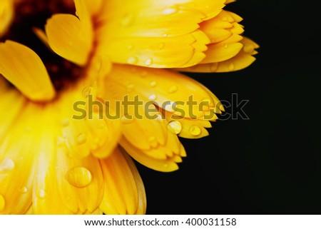 Beautiful flower of calendula with raindrops, close-up. Marigold.  Natural background. Macro shot. Selective focus - stock photo