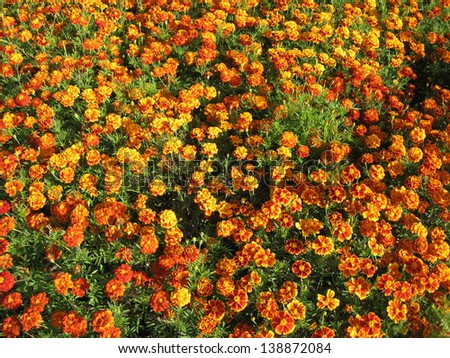 beautiful flower of motley and velvet tagetes