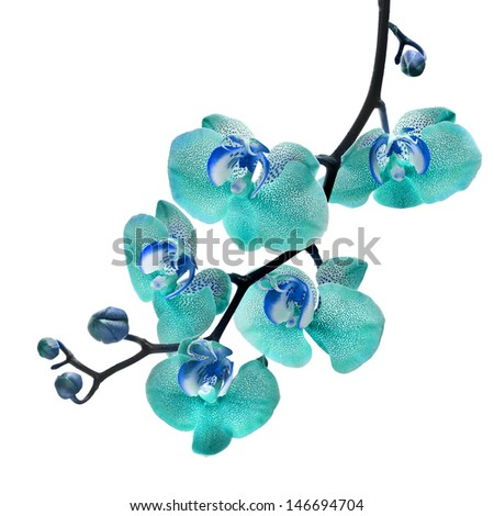 Beautiful flower Orchid, blue phalaenopsis close up isolated on white background  - stock photo