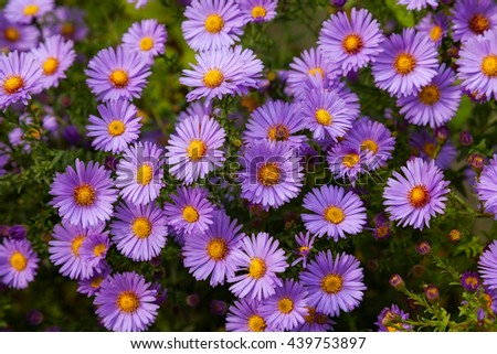 beautiful flower pink aster. closeup