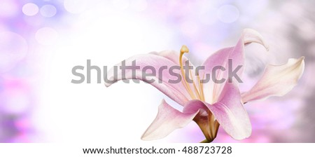 Beautiful flower pink lily on abstract   background