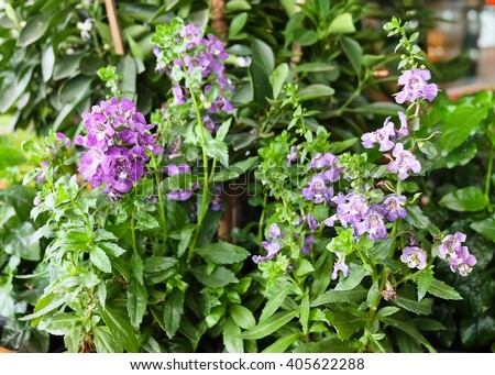 Beautiful Flower, Purple Sage Flowers or Salvia Flowers with Green Leaves. - stock photo