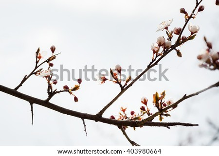 Beautiful flowering apple trees. background with blooming flowers in spring day.Blossoming of cherry flowers in spring time with green leaves, natural floral seasonal background with copy space - stock photo